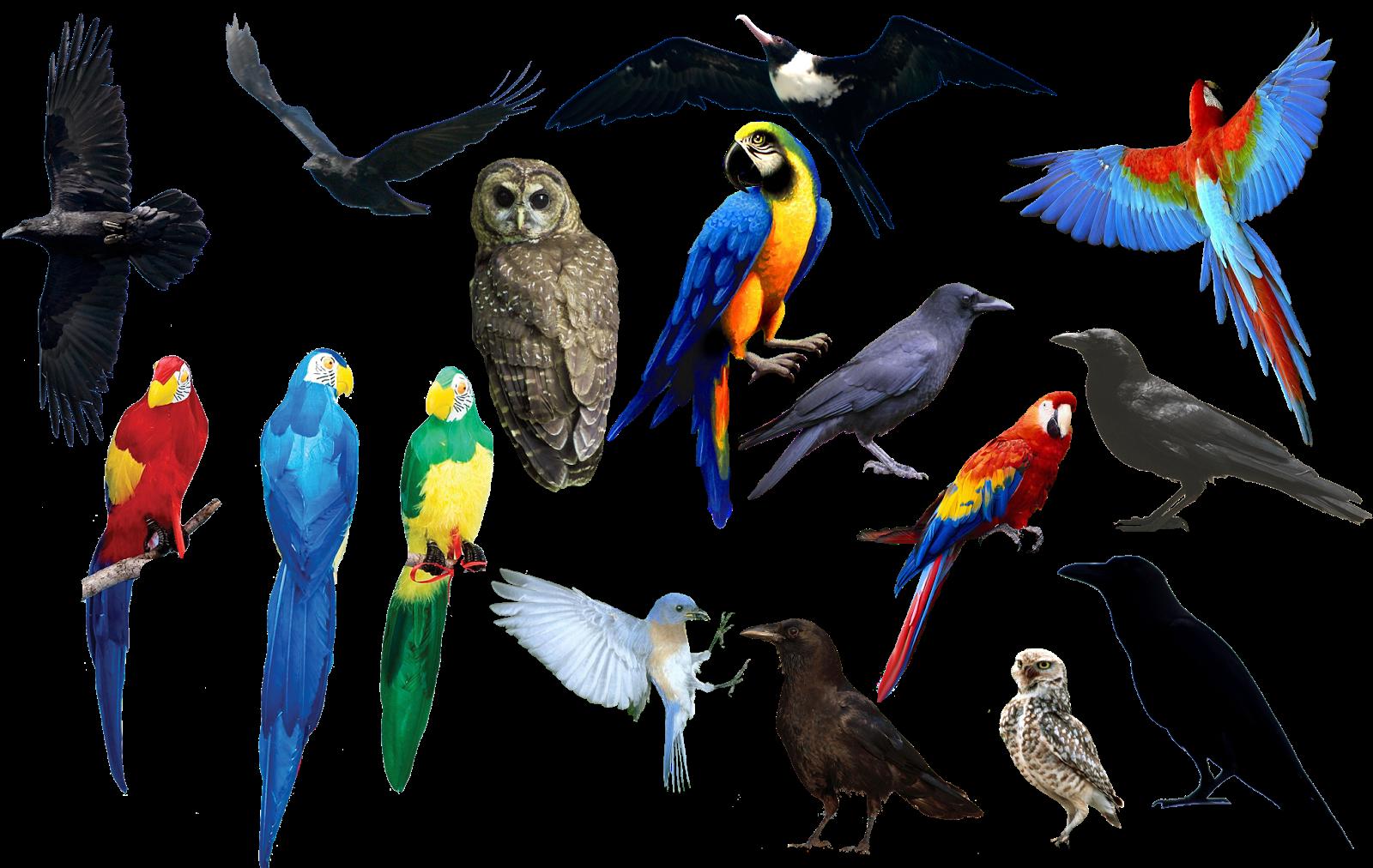 Bahan Edit Foto format png Burung