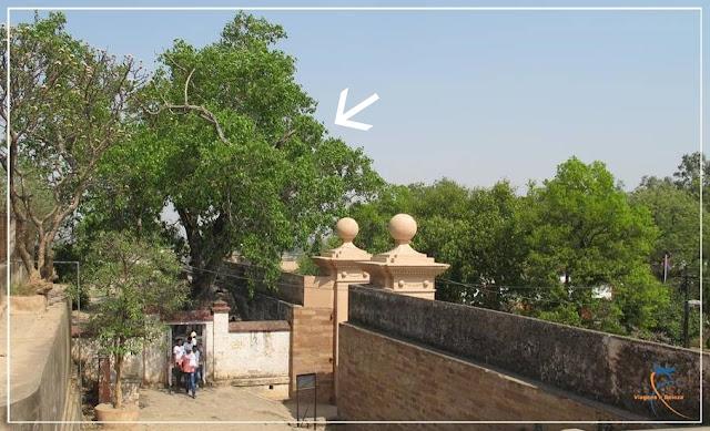 Árvore Peepal no Forte Chunar