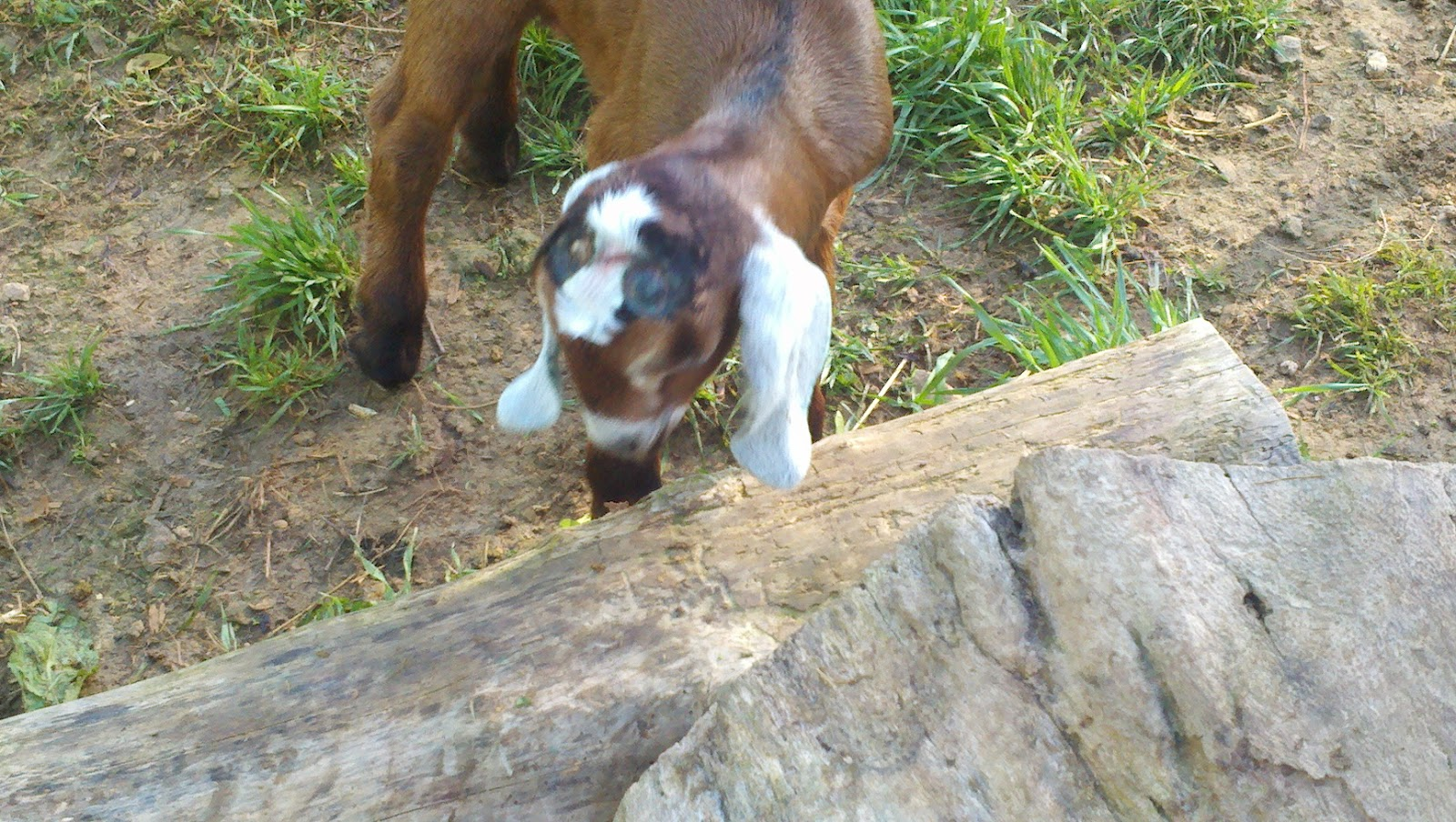Our Tn Adventure Disbudding Amp Tattooing The Goats
