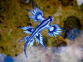 glaucus atlanticus facts