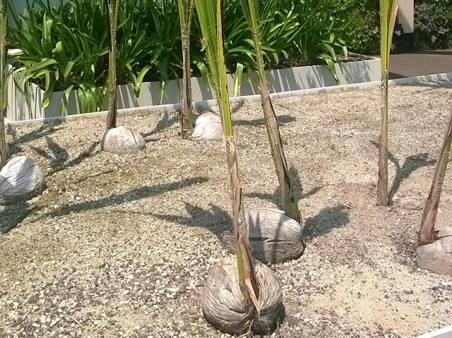 Cocos nucifera sprouts