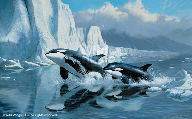 orca killer whale wallpaper images
