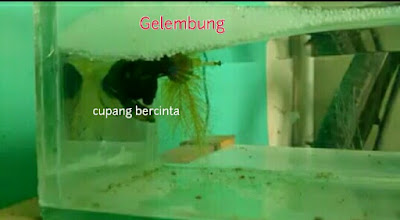 proses Pemijahan ikan cupang