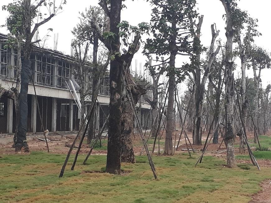 cây cổ thụ tại louis city đại mỗ