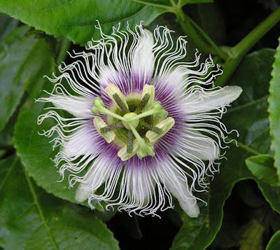 passion-fruit-flower.jpg