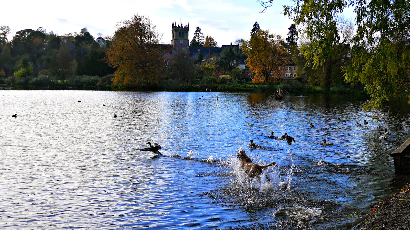 dog chasing ducks at ellesmere lake
