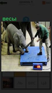 Слона пытаются затащить на весы, передними ногами уже стоит