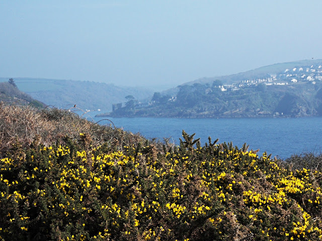 Yellow gorse on the coastal footpath, Cornwall