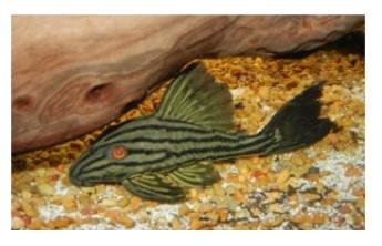 Jenis Ikan Sapu Sapu
