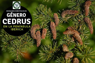 El género Cedrus arboles perennifolios, altos a veces superan los 40 m, de porte cónico