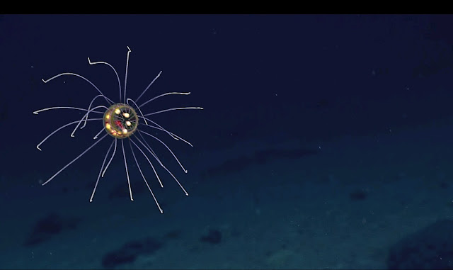 Cientistas encontram água-viva impressionante em águas profundas do oceano