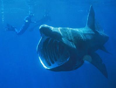 Riesenhai – Cetorhinus maximus