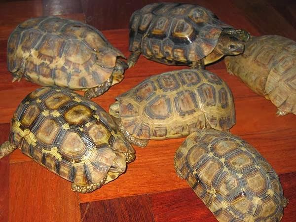 Grupo de Kinixys belliana