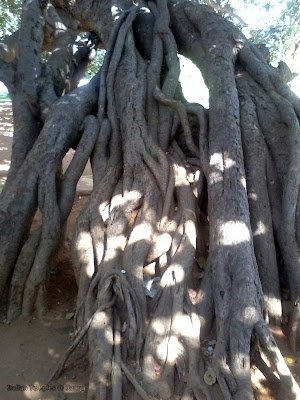 mahabubnagar pillalamarri tree