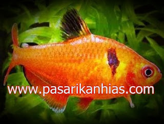 Ikan hias Red Phantom Tetra