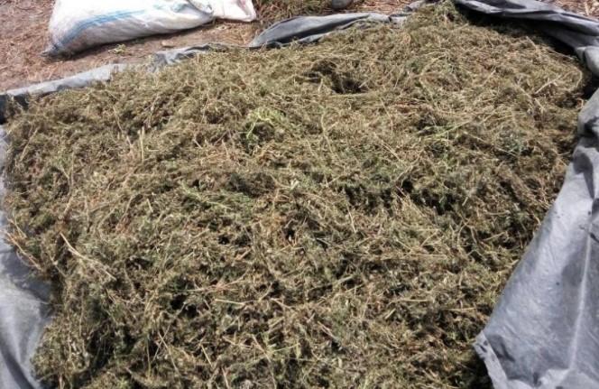 8 Ha Ladang Ganja ditemukan Sat Res Narkoba Polres Aceh Besar