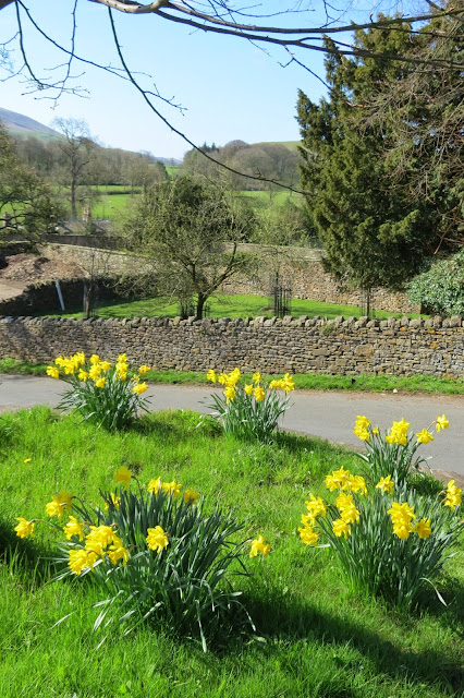 Clumps of daffodils on grass verge. Dry stone walls and blue sky in background.