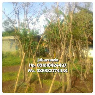 Tukang Taman menjual pohon jakaranda bunga ungu Batang besar harga murah