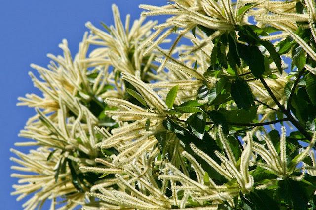 Καστανιά ένα υπέροχο φυτό για δυνάμωμα και ανάπτυξη των μελισσιών