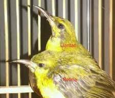 800 Gambar Burung Sogok Ontong Paling Baru Gambar Id