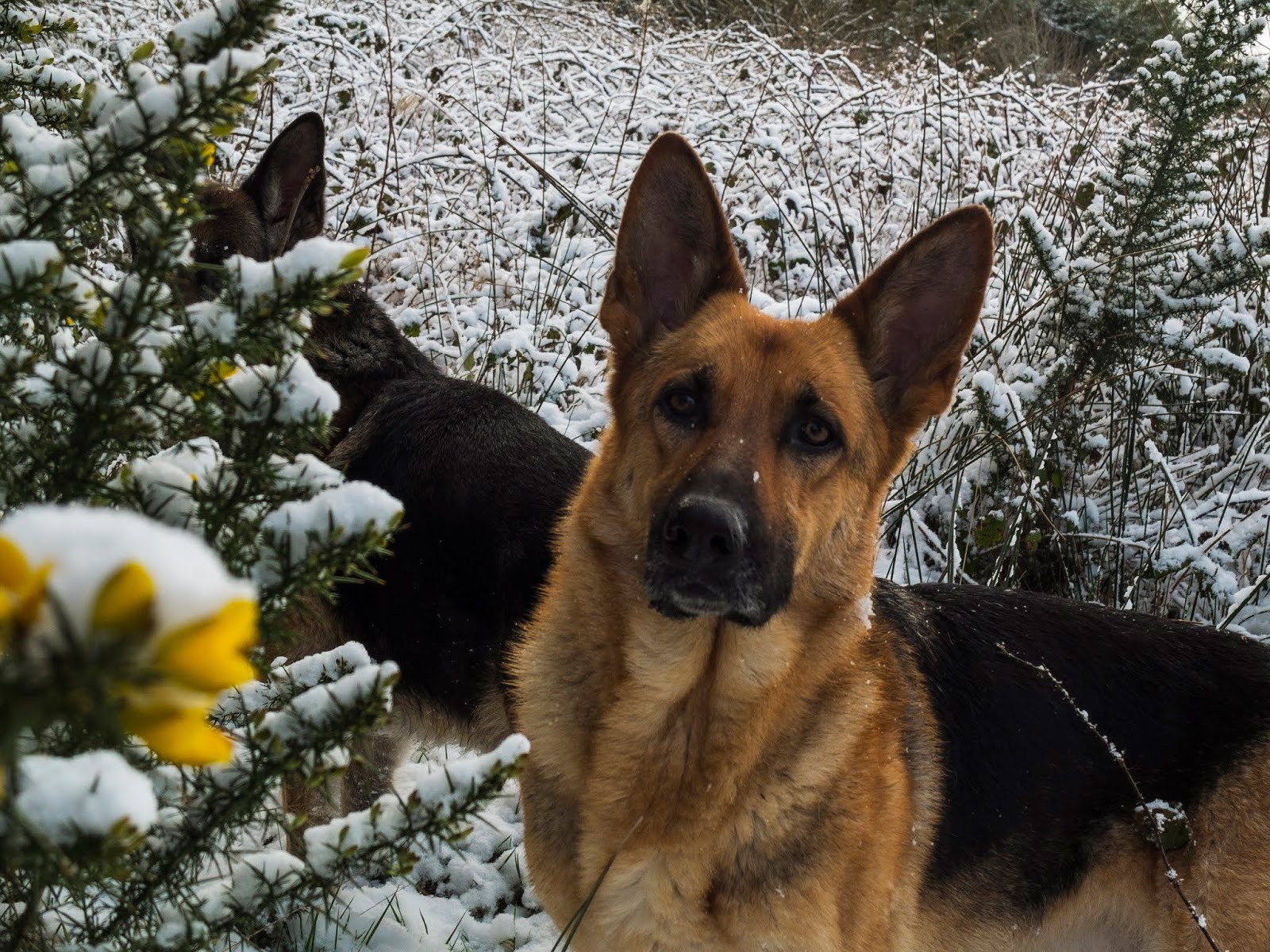 A German Shepherd Nala standing in the snow looking at the camera.