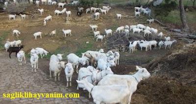 keçilerde kızgınlık belirtileri nelerdir