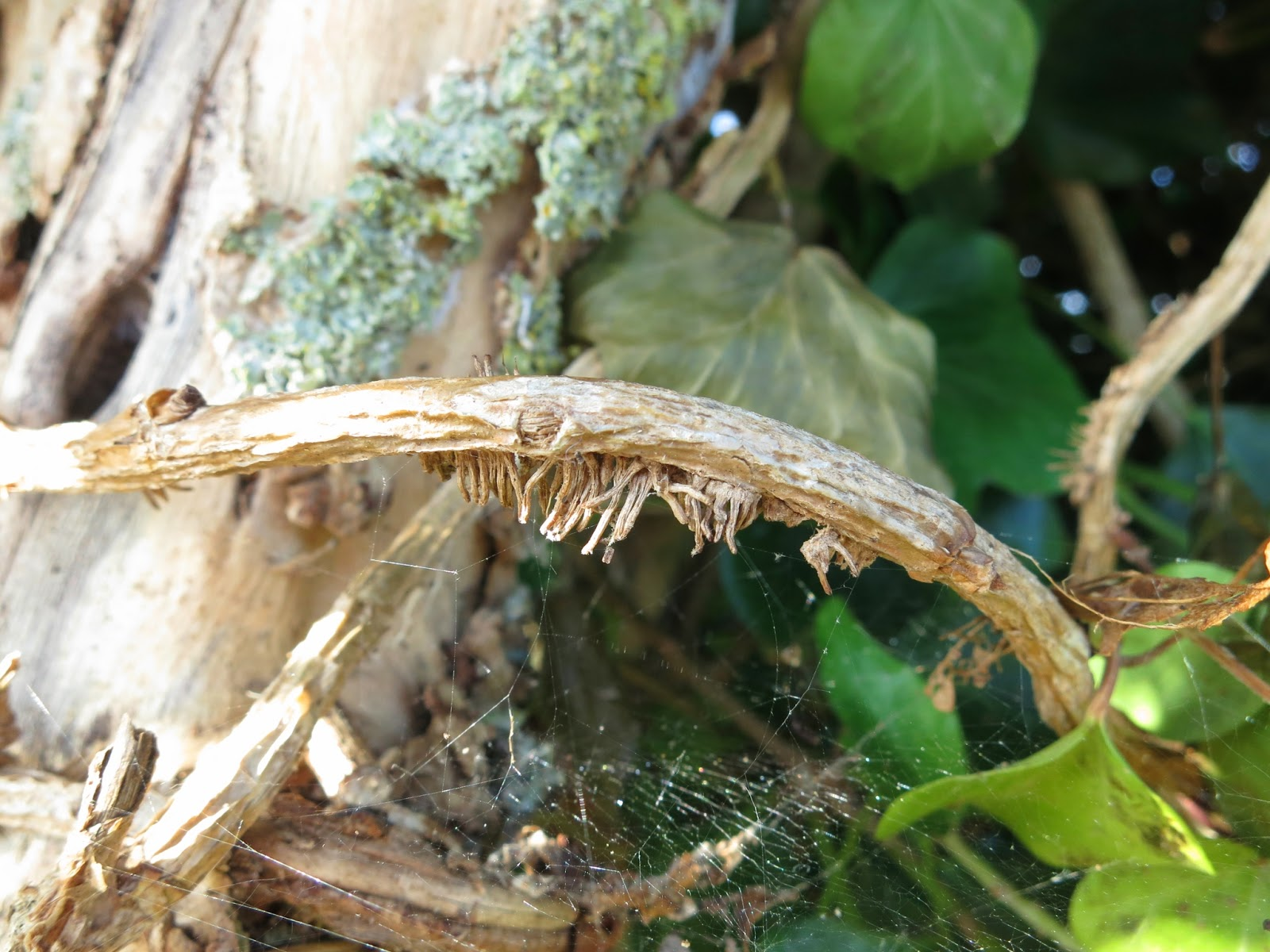 Little roots on woody ivy stem