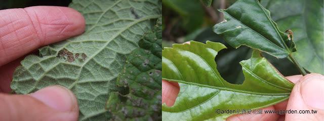 左-幼蟲啃食葉肉,留下葉脈;右-食痕紀錄,左邊的咬痕較新鮮,右邊咬痕較舊