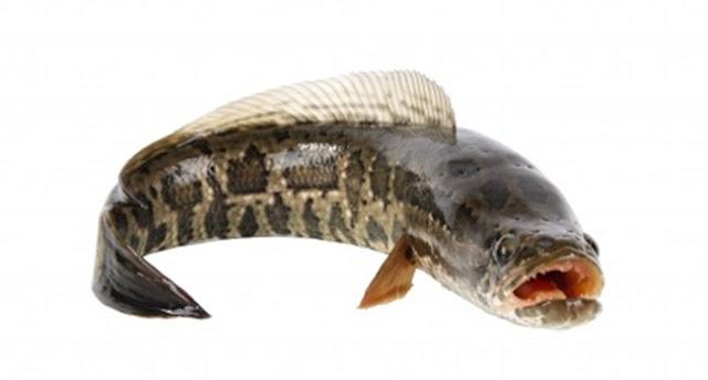 Jangan Remehkan Ikan Gabus, Inilah Manfaatnya Untuk Kesehat