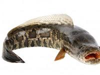 Jangan Remehkan Ikan Gabus, Inilah Manfaat Ikan Yang kepalanya Mirip Ular ini Untuk Kesehat