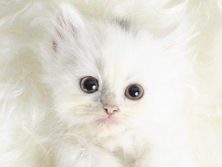 cute white cats hd - photo #28