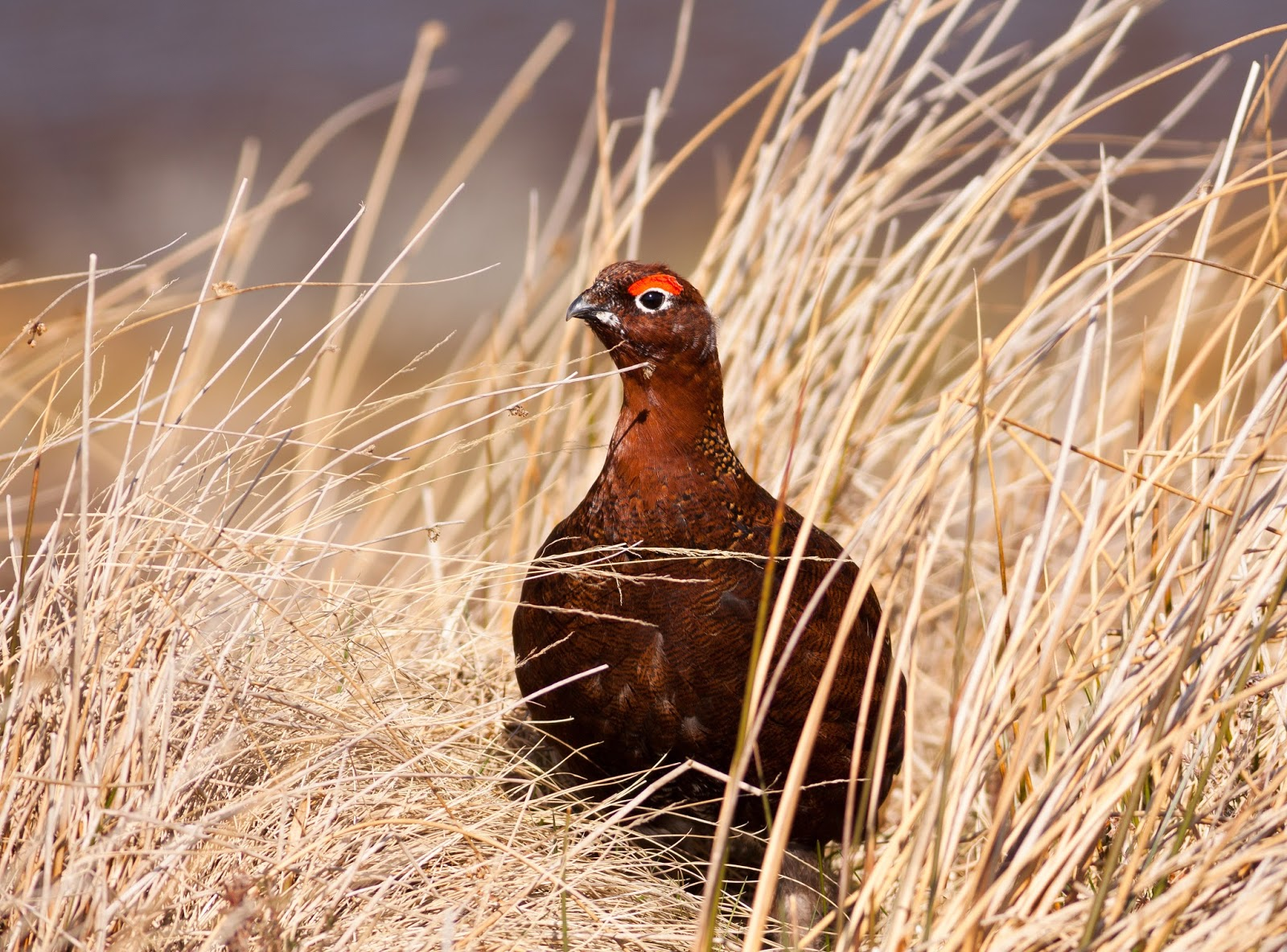 Red Grouse - Lochindorb, Scotland