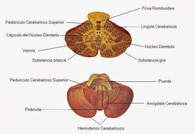 Características, partes y funciones del encéfalo