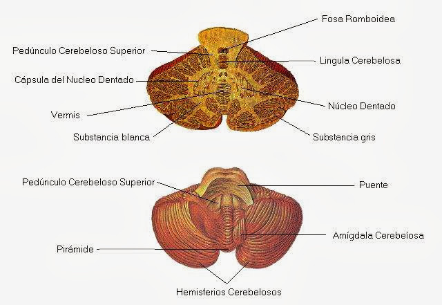 Estructura y partes del cerebelo