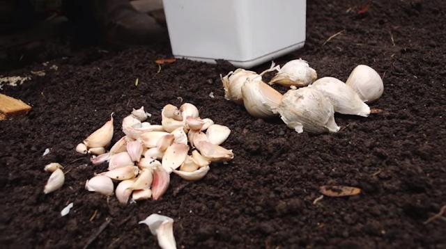 Como plantar alho -