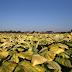 Pesquisadores aumentam em 40% rendimento de plantas com modificação genética