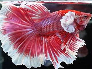 Big ear - Jenis Ikan Cupang