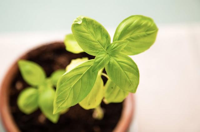 How To Grow Sweet Basil