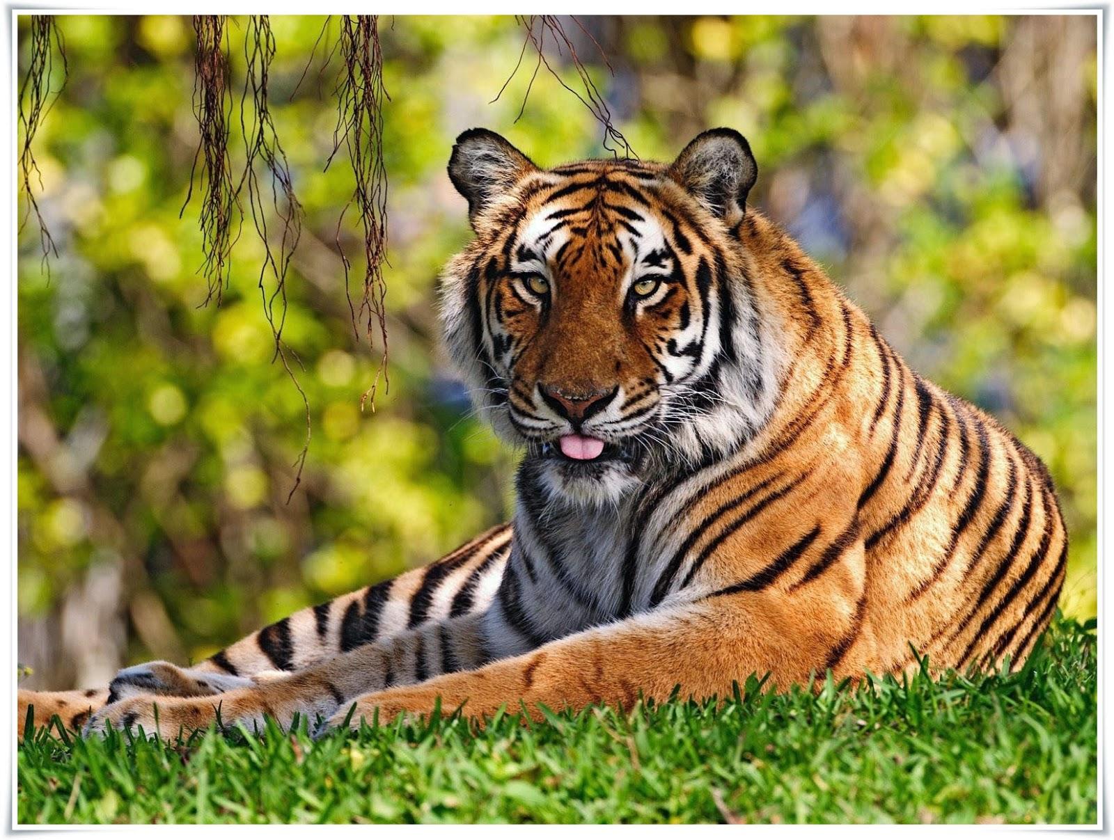 Harimau  Nama Gambar Binatang AZ