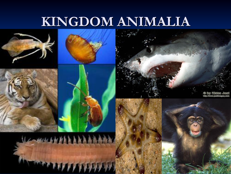 Image of: Filum Platyhelminthes Sistem Klasifikasi Kingdom Animalia Lengkap Pengertian Ciriciri Contoh Artikel Materi Pelajaran Terlengkap Sistem Klasifikasi Kingdom Animalia Lengkap Pengertian Ciriciri