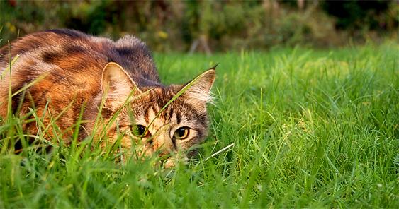 Kissa vaanii saalista nurmikon kätköissä