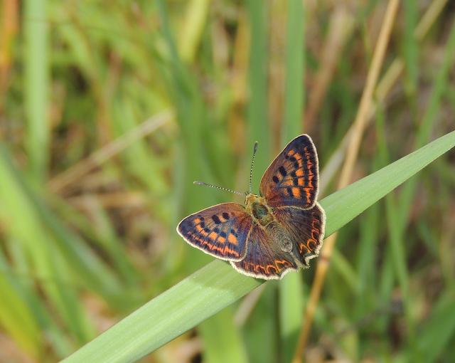 Butterfly Monitoring Scheme España