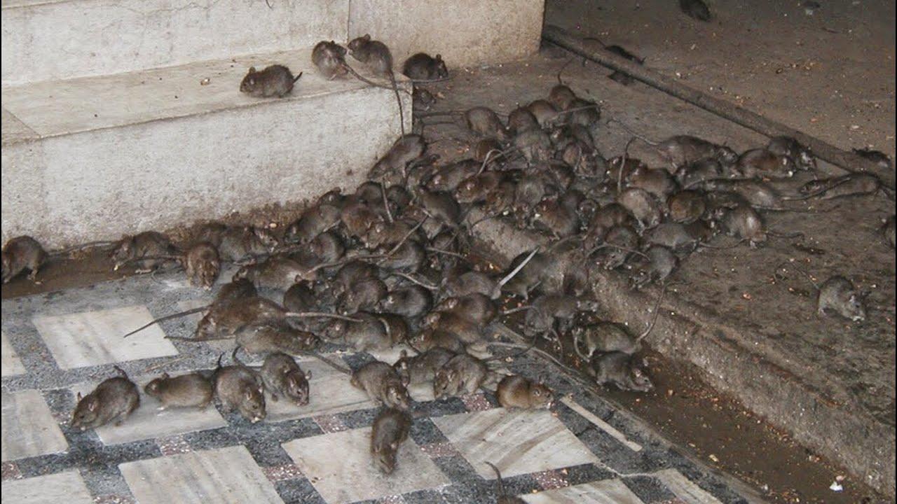 9 Cara Mudah Untuk Halau Tikus Dari Rumah Yang Anda Patut Tahu