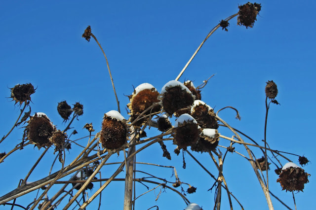 winter, sunflowers, blue sky, Anne Butera, My Giant Strawberry