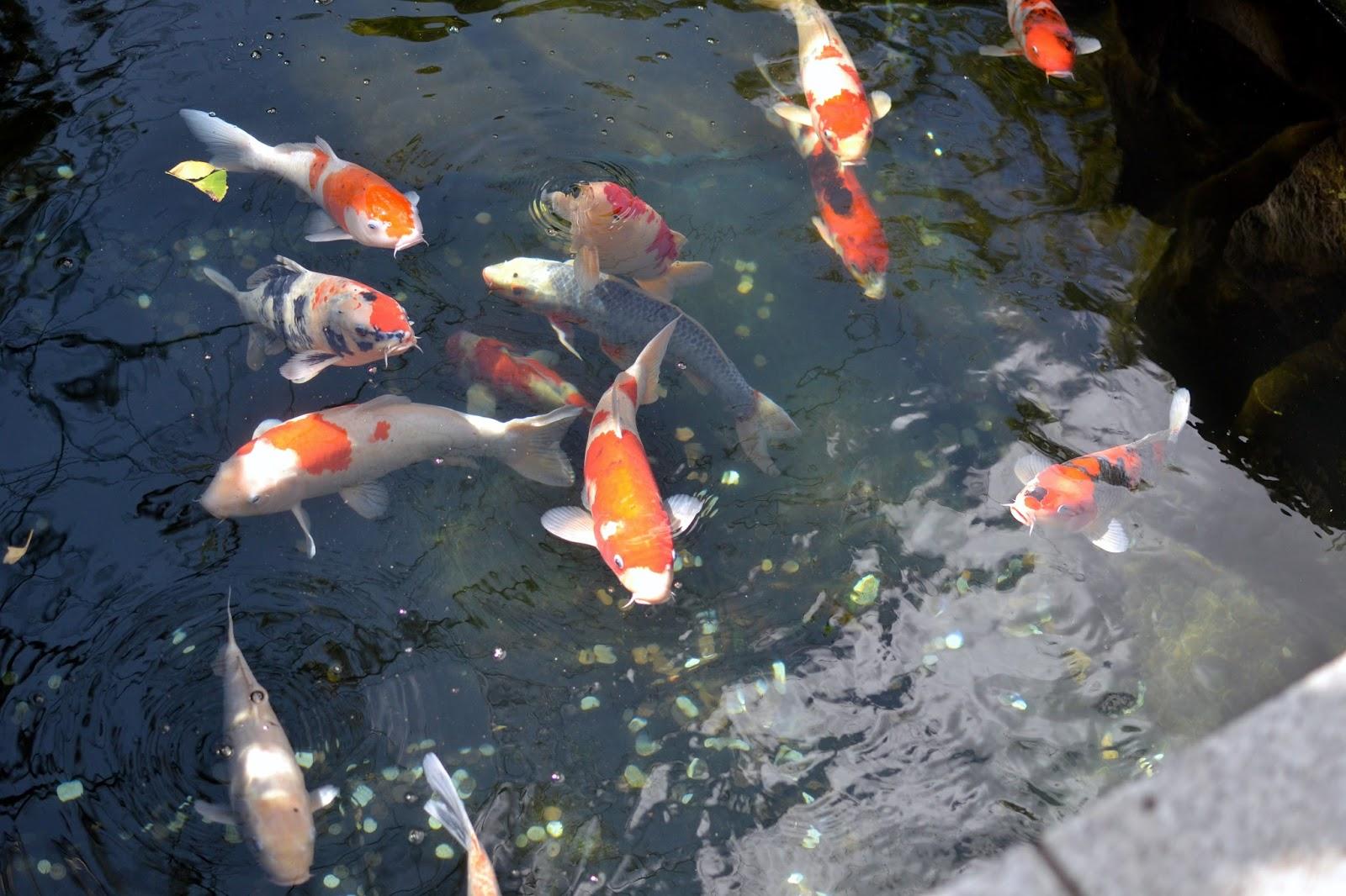 Koi, Hama Rikyu gardens, Park, Nature, Tokyo, Japan, Must to Tokyo,
