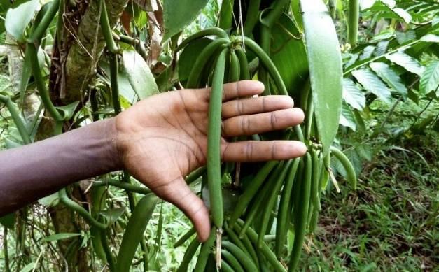 Les agriculteurs Comoriens restent le fer de lance de l'économie