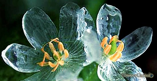 Flor esqueleto - flor de pétalas de vidro - Diphylleia grayi