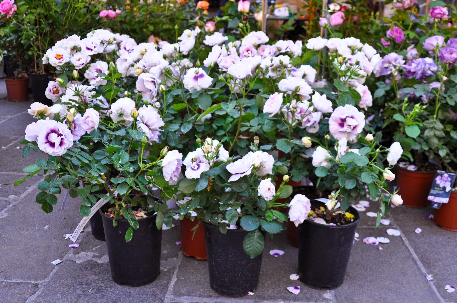 Potted roses, 7th Edition of 'Fiori, colori, e...' - Floriculture market show, Vicenza, Italy