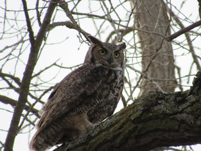 northern california owls sighting
