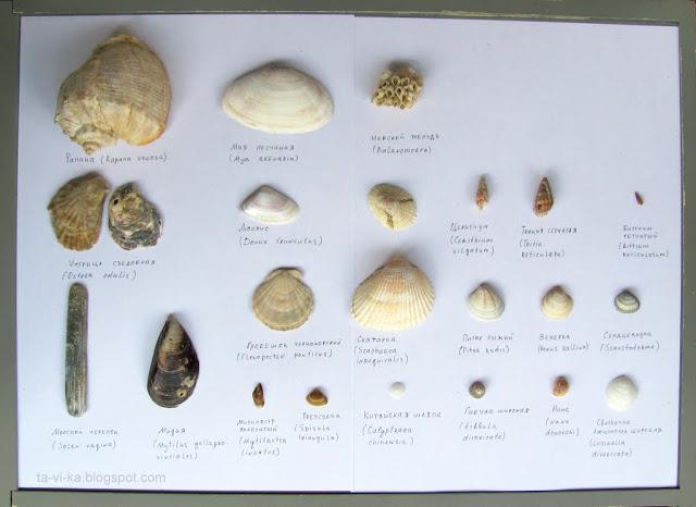 Ракушки Черного моря black sea shell